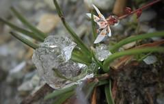 le saxifrage et le glaçon (bulbocode909) Tags: valais suisse prafleuri saxifrages fleurs glaçons herbe hérémence dixence nature montagnes coldesroux