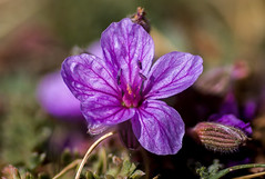 Mountain flower macro (+Samael+) Tags: flower macro purple mountain greece canon 50mm bokeh 70d stacking focus