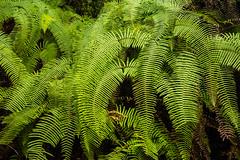 Gocha-la trek in Sikkim, India (David Ducoin) Tags: asia dzongri fern flower gochala hike himalaya india nature plant sikkim stilllife trek gangtok in