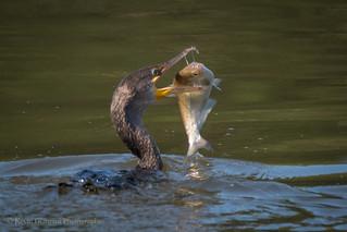 Cormorant feeding