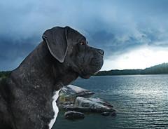 redIMG_6651 (Unicornfucking) Tags: dog thunder mastiff cane corso canecorso sweden ocean