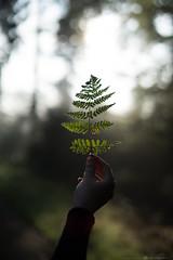 (CarolienCadoni..) Tags: sonyilcaa99m2 sony sal50f14 bokeh dof light forest hand sun trees