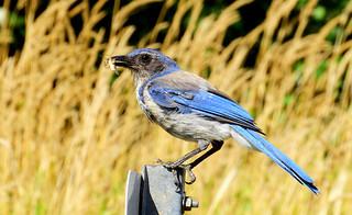 California Scrub-Jay 8-15-17 Steigerwald Lake National Wildlife Refuge
