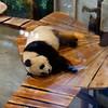 Rhenen - Ouwehands Zoo 2017-8564 (Quistnix!) Tags: 2017 ouwehandszoo dierenpark zoo pandaverblijf panda reuzenpanda ailuropodamelanoleuca xingya