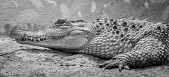 Captive Philippine Crocodile (petechar) Tags: petechar charlesrpeterson captive animal reptilehouse nationalzoo washingtondc closeup panasonicgx8 panasonic14140mm reptilia crocodylia crocodylidae crocodylusmindorensis philippinecrocodile blackandwhite monochrome macro reptilediscoverycenter