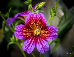 Salpiglossis (jt893x) Tags: 105mm afsvrmicronikkor105mmf28gifed d810 flower jt893x macro nikon salpiglossis plant