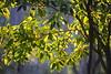 chlorophyll (Bl.Mtns.Grandma) Tags: pittosporum