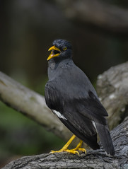 Javan myna (Robert-Ang) Tags: myna javanmyna nature wildlife japanesegarden singapore blackbird acridotheresjavanicus animalplanet