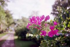 (Harley Mitchell) Tags: 35mm nikon fm10 nature flowers