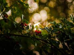 First hints of autumn... (davYd&s4rah) Tags: olympusm75mmf18 olympusm75f18 hagebutte rose hip rosehip summer autumn sommer herbst bokeh beautiful light round leaves leaf red green rot grün sunshine sonnenschein sun sonne lichtstimmung olympus em10markii m75mm f18 bayern dof depthoffield summertimesadness
