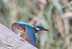 Flying kingfisher (Escipió) Tags: kingfisher blauet martinpescador alcedo atthis sebes tarragona blue bird nature wild
