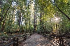 The Majestic Redwood Trees (calba) Tags: california cathyalba cathyalbaphotography cathyalbaphotos henrycowellredwoodsstatepar redwoodtrees redwoods nature path statepark trees henrycowellredwoodsstatepark