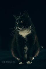 Ralph (barbara.jackson55) Tags: canon5diii sigma105mmf28macro blackandwhitecat cats petphotography tuxedocat pixapro beautydish elinchromdlite studiolighting strobes alienskinsoftware dark lowkey darktones
