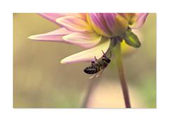 Pastel summer (Explored) (hehaden) Tags: flower dahlia bee pastel garden sussexprairies sussexprairiegarden henfield sussex topazrestyle specanimal