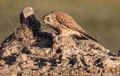 Cernicalo con raton (barragan1941) Tags: aves cernicaloprimilla fauna rapaces toledo