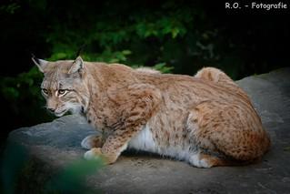 Luchs / Lynx / Bobcat