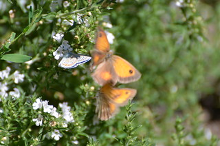 Butterflies at play