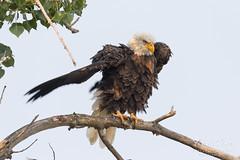 Bald Eagle shaking it up