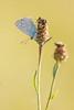 Argus bleu (Polyommatus icarus) (aurelien.ebel) Tags: alsace animal argusbleu basrhin france insecte lawantzenau lycaenidae papillondejour polyommatinae polyommatusicarusrottemburg 1775 rhopalocères