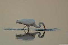 Grande aigrette  - Egretta alba petit matin sur l'étang. .. (jymandu) Tags: aigrette egretta