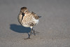 Dunlin (Shane Jones) Tags: dunlin bord seabird wader nature wildlife nikon d500 200400vr tc14eii