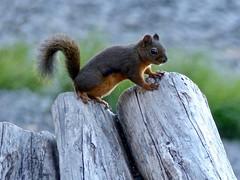 Douglas Squirrel (Tamiasciurus douglasii) (WRFred) Tags: olympicnationalpark washington nature wildlife squirrel