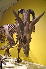 DSC09103 - Wendiceratops (archer10 (Dennis) 107M Views) Tags: ontario sony a6300 ilce6300 18200mm 1650mm mirrorless free freepicture archer10 dennis jarvis dennisgjarvis dennisjarvis iamcanadian novascotia canada toronto rom royalontariomuseum dinosaur museum