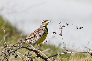 Western Meadowlark (Sturnella neglecta) (sp. # 209)