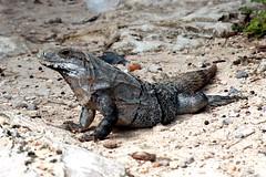 Iguana @ Tulum (Prayitno / Thank you for (12 millions +) view) Tags: konomark tulum iguana mayan ruin wild animal reptile qroo quintana roo mx mexico outdoor gravel white rocks day time crawling exotic caribbean climate fauna mini dragon