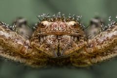 Xysticus sp. (Tom Rop) Tags: xysticus sp araignée arachnide araneomorphae araneae arachnida spider thomisidae crabe crab drop water droplet eau goutte rosée bokeh nature animal portrait canon 600d sigma 105mm
