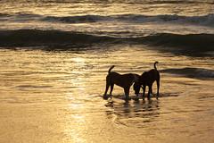 Sunset Silhouettes, Senegal (Geraint Rowland Photography) Tags: dogs puppy dog animals animalportraits dogsplaying downbythesea lompoul senegal westafrica beach travel travelinwestafrica settingsun sunsetovertheocean geraintrowlandphotography geraintrowlandinafrica ocean goldenhour shadows light lightinphotography sunsetsilhouettes silhouettephotography 5d2 50mm