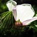 Flower-of-an-Hour+-+Fleur+d%27une+heure