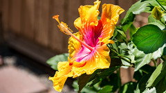 Hibiscus (whoj) Tags: hibiscus flora flower flowers fruit gardens plants fountainvalley ca usa
