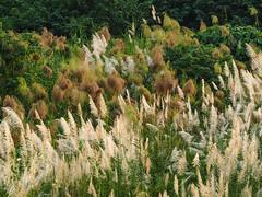 Taiwan-silvergrass-五節芒 (andy818102) Tags: silvergrass grass nature flower autumn photograph photography green travel