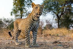 Leopard (Burrard-Lucas Wildlife Photography) Tags: bcc leopard luangwa zmb