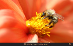 How doth the little busy bee, (Tony / Guy@Fawkes) Tags: bee dahlia flower summer pollen ngc