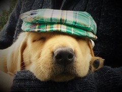 Puppy Snooze..x (Lisa@Lethen) Tags: dog puppy cap hat pet labrador yellow