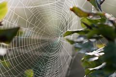 Waterdrops in a spiders web (Mr.Borup) Tags: fog tåge waterdrops vanddråber dråber spindelvæv spiderweb
