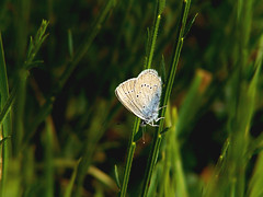 B u t t e r f l y (cel'happy) Tags: sonycybershot sonydsch1 picture photographie photo camera capture shot nature sun butterfly grass light argus blue white bluebutterfly dark shadow campaign macro insect