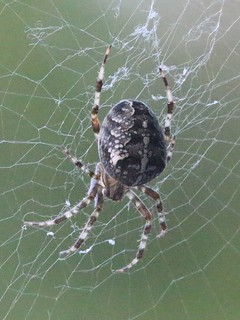 European Garden Spider (Araneus_diadematus)