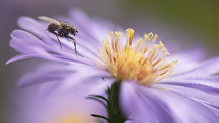 Aster and Fly ...HFDF ;-)