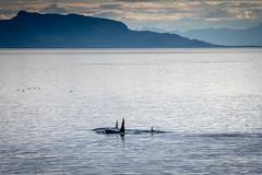 Orcas in Early Evening (helenehoffman) Tags: dolphinfamily uncruiseadventures insidepassage pod stephenspassage cetaceans alaska mammal water marinemammal cetacean orca