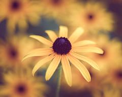 Flowers (rickmcnelly) Tags: flower rollei carl zeiss planar 50mm18 gx8 fade rolleicarlzeissplanar50mm18