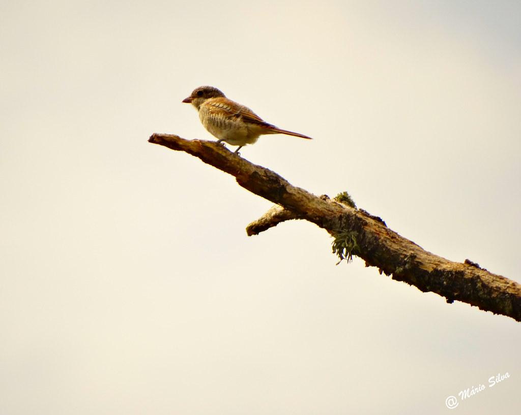 Águas Frias (Chaves) - ... pássaro no ramo ...