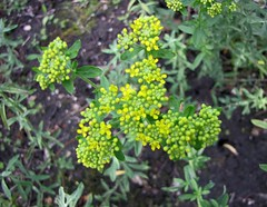 岩生庭芥 Alyssum argenteum [華沙大學植物園  Warsaw University Botanic Garden] (阿橋花譜 KHQ Flower Guide) Tags: alyssum 十字花科 brassicaceae cruciferae