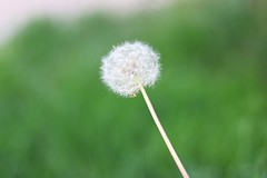Some see weeds, some see wishes. ••• #inspiration #dandelion #weeds #wishes #love #macro #portrait #portraitphotography #canon #canont6i (theresaleffert) Tags: inspiration dandelion weeds wishes love macro portrait portraitphotography canon canont6i