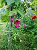 Lovely clematis (Elise de Korte) Tags: fr france frankrijk ldf lafrance avondlicht avondschemering bloei bloeien bloem bloemen clematis fleur fleurs flower flowering flowers garden groentetuin jardin moestuin plant potager tuin twilight vegetablegarden veggiegarden zomers