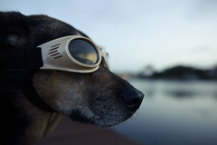 solar eclipse - bring it on! (Laurarama) Tags: dog goggles nokond810 nikkor24mm18g odctwilight
