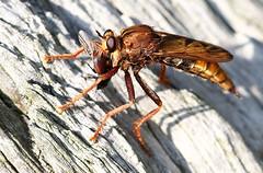 Hornet Robberfly With Prey (Ger Bosma) Tags: 2mg191373filtered hoornaarroofvlieg asiluscrabroniformis hornetrobberfly hornissenraubfliege łowikszerszeniak asilidae robberflyfamily assassinflies withprey prey beetle caught insect
