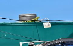 USA Trip 2017 (jaffa600) Tags: unitedstatesofamerica unitedstates usa america stateofflorida florida miami cityofmiami floridakeys thekeys keywest keylargo iguanas iguana reptile lizard lizards